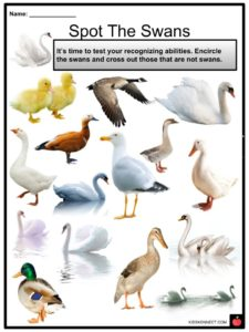 Swan Facts Worksheets Diet Habitat Mating And Life Cycle For Kids