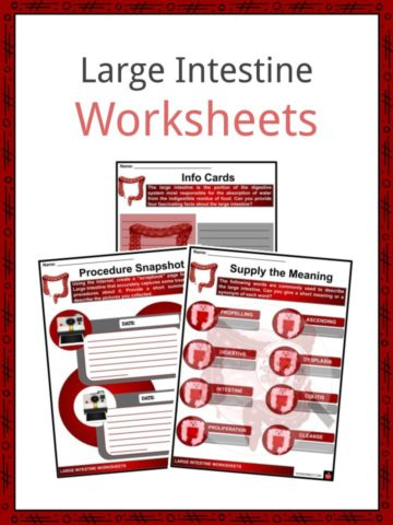 Large Intestine Worksheets